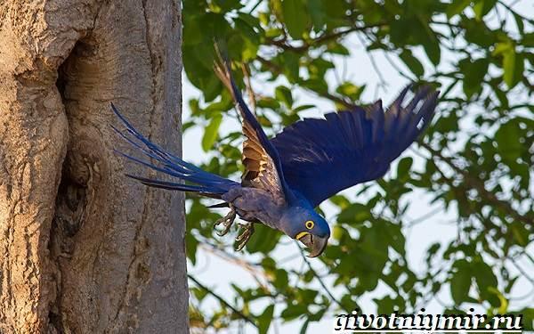 Гиацинтовый-ара-попугай-Образ-жизни-и-среда-обитания-гиацинтового-ары-10