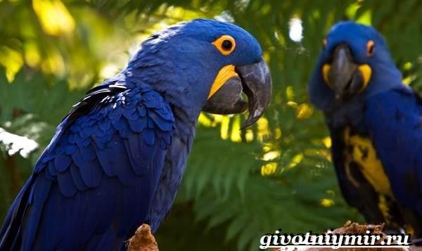 Гиацинтовый-ара-попугай-Образ-жизни-и-среда-обитания-гиацинтового-ары-2