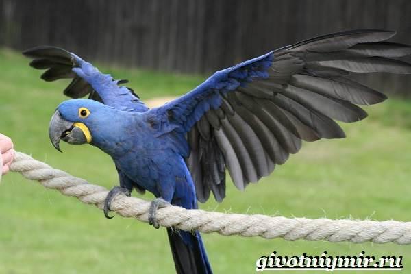 Гиацинтовый-ара-попугай-Образ-жизни-и-среда-обитания-гиацинтового-ары-3