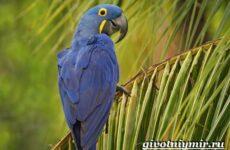 Гиацинтовый ара попугай. Образ жизни и среда обитания гиацинтового ары