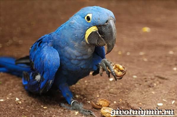 Гиацинтовый-ара-попугай-Образ-жизни-и-среда-обитания-гиацинтового-ары-5