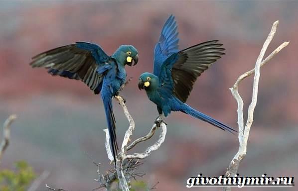 Гиацинтовый-ара-попугай-Образ-жизни-и-среда-обитания-гиацинтового-ары-7