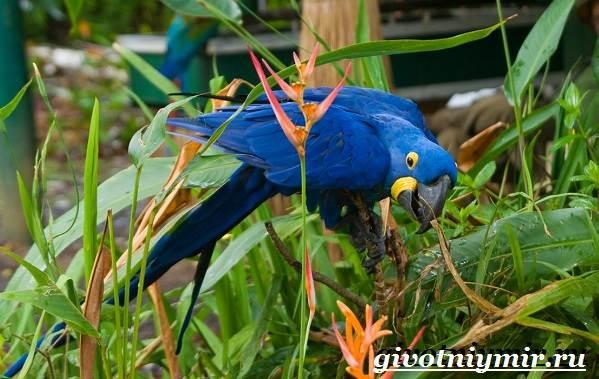 Гиацинтовый-ара-попугай-Образ-жизни-и-среда-обитания-гиацинтового-ары-9