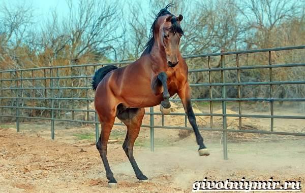 Гнедая-лошадь-Описание-виды-уход-и-цена-гнедой-лошади-10
