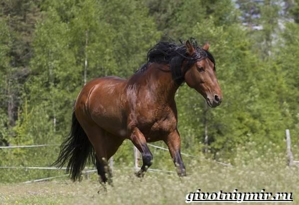 Гнедая-лошадь-Описание-виды-уход-и-цена-гнедой-лошади-12