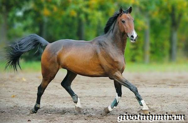 Гнедая-лошадь-Описание-виды-уход-и-цена-гнедой-лошади-