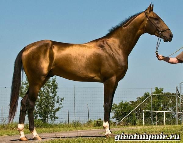 Гнедая-лошадь-Описание-виды-уход-и-цена-гнедой-лошади-9