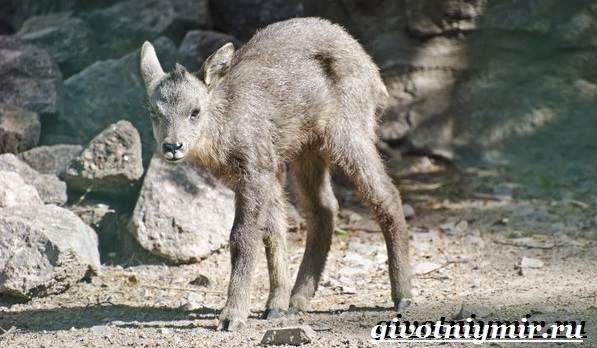 Горал-животное-Образ-жизни-и-среда-обитания-горала-13