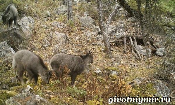 Горал-животное-Образ-жизни-и-среда-обитания-горала-14