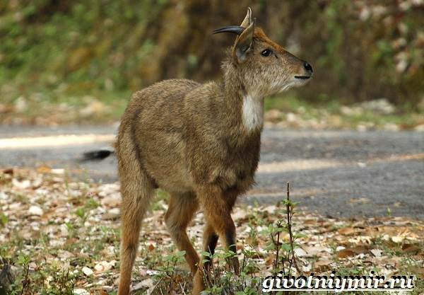 Горал-животное-Образ-жизни-и-среда-обитания-горала-2