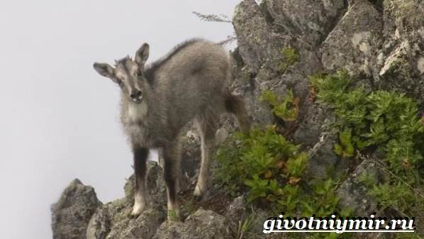 Горал-животное-Образ-жизни-и-среда-обитания-горала-3