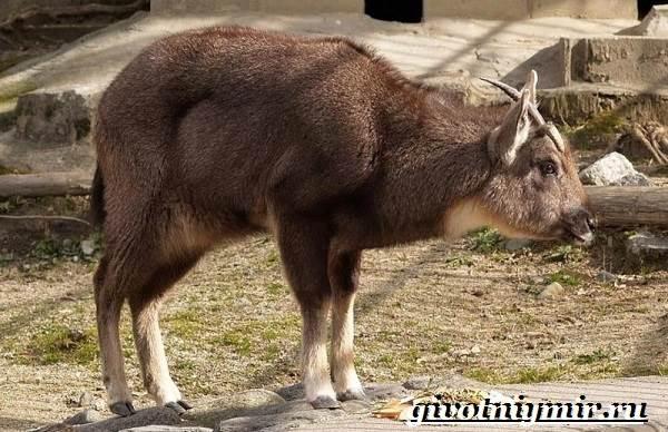 Горал-животное-Образ-жизни-и-среда-обитания-горала-5