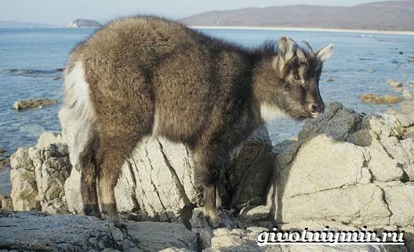 Горал-животное-Образ-жизни-и-среда-обитания-горала-7
