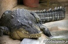 Гребнистый крокодил. Образ жизни и среда обитания гребнистого крокодила