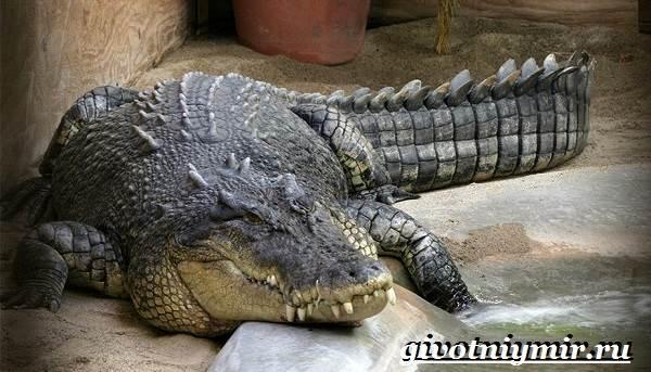 Гребнистый-крокодил-Образ-жизни-и-среда-обитания-гребнистого-крокодила-1