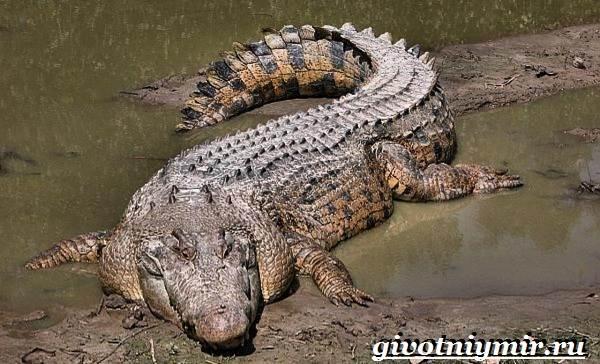 Гребнистый-крокодил-Образ-жизни-и-среда-обитания-гребнистого-крокодила-2