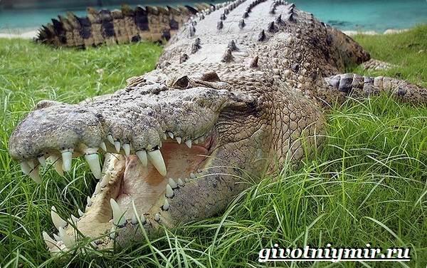 Гребнистый-крокодил-Образ-жизни-и-среда-обитания-гребнистого-крокодила-3