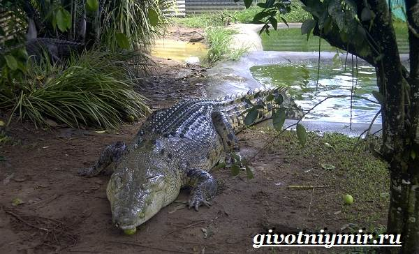 Гребнистый-крокодил-Образ-жизни-и-среда-обитания-гребнистого-крокодила-4