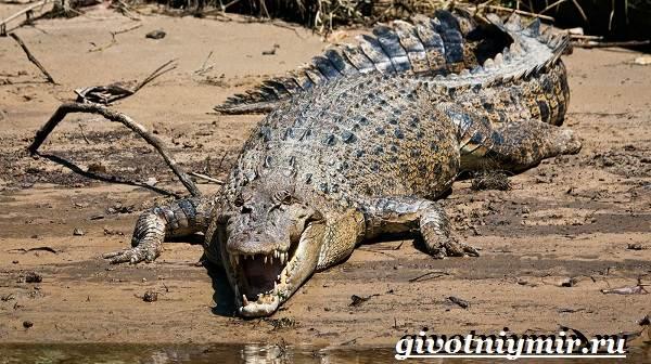 Гребнистый-крокодил-Образ-жизни-и-среда-обитания-гребнистого-крокодила-5