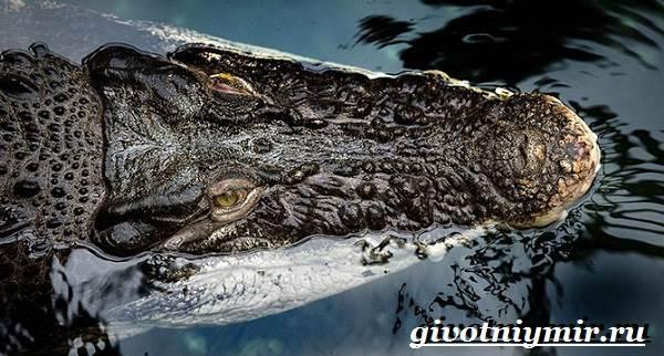 Гребнистый-крокодил-Образ-жизни-и-среда-обитания-гребнистого-крокодила-7