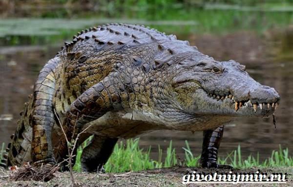 Гребнистый-крокодил-Образ-жизни-и-среда-обитания-гребнистого-крокодила-8