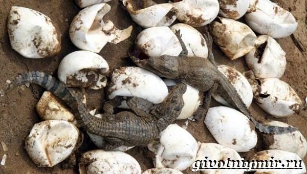 Гребнистый-крокодил-Образ-жизни-и-среда-обитания-гребнистого-крокодила-9