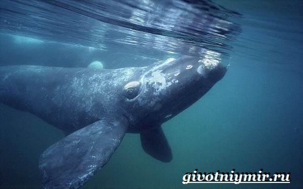 Гренландский-кит-Образ-жизни-и-среда-обитания-гренландского-кита-3