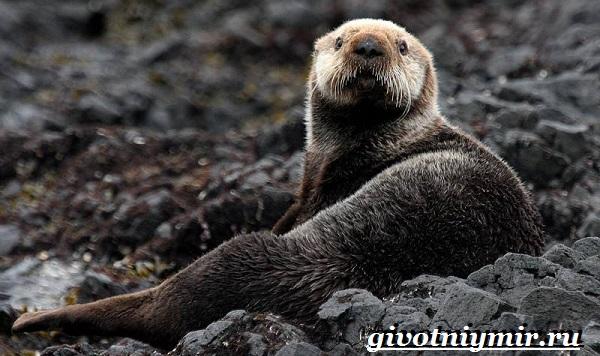 Калан-морская-выдра-Образ-жизни-и-среда-обитания-калана-1