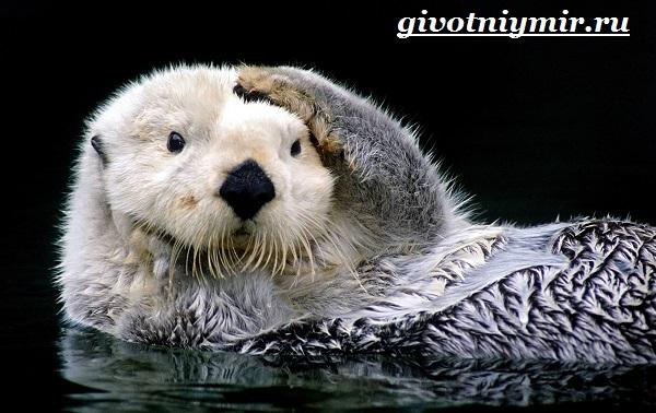Калан-морская-выдра-Образ-жизни-и-среда-обитания-калана-10