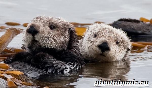 Калан-морская-выдра-Образ-жизни-и-среда-обитания-калана-11