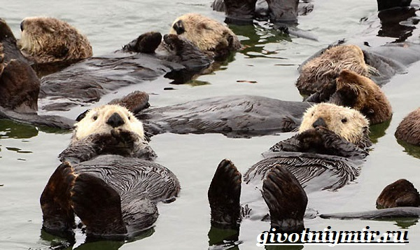 Калан-морская-выдра-Образ-жизни-и-среда-обитания-калана-12