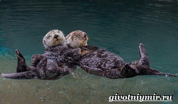 Калан-морская-выдра-Образ-жизни-и-среда-обитания-калана-14