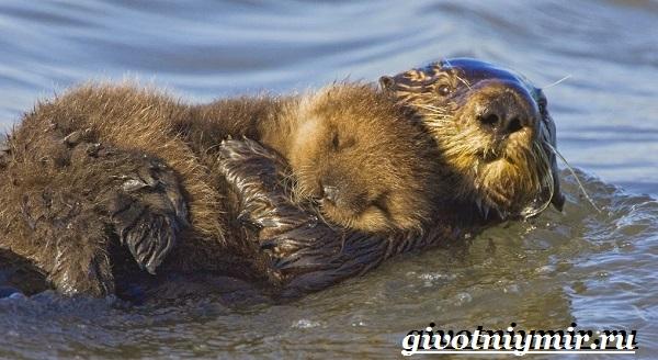 Калан-морская-выдра-Образ-жизни-и-среда-обитания-калана-15