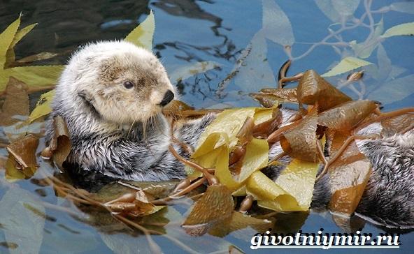 Калан-морская-выдра-Образ-жизни-и-среда-обитания-калана-16