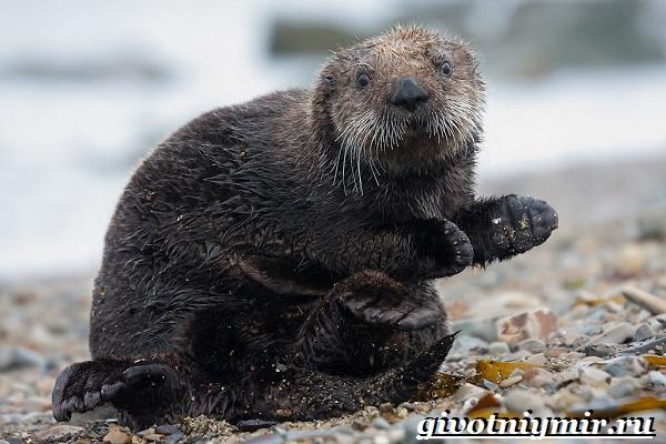 Калан-морская-выдра-Образ-жизни-и-среда-обитания-калана-2