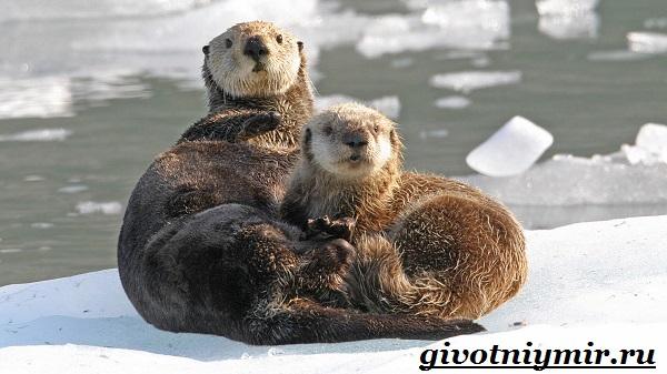 Калан-морская-выдра-Образ-жизни-и-среда-обитания-калана-4