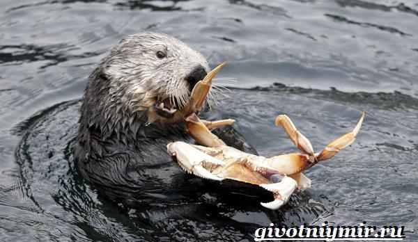 Калан-морская-выдра-Образ-жизни-и-среда-обитания-калана-5