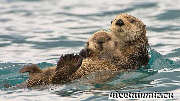 Калан-морская-выдра-Образ-жизни-и-среда-обитания-калана-6