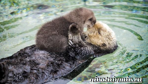 Калан-морская-выдра-Образ-жизни-и-среда-обитания-калана-8