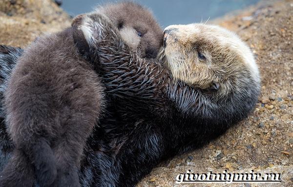 Калан-морская-выдра-Образ-жизни-и-среда-обитания-калана-9