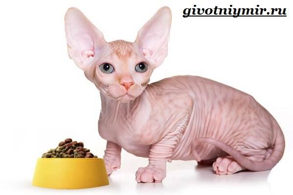 Канадский-сфинкс-кошка-Описание-уход-и-цена-канадского-сфинкса-17