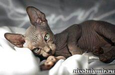 Канадский сфинкс кошка. Описание, уход и цена канадского сфинкса
