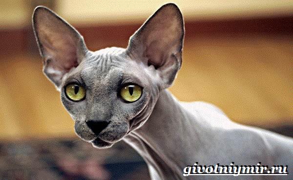 Канадский-сфинкс-кошка-Описание-уход-и-цена-канадского-сфинкса-3