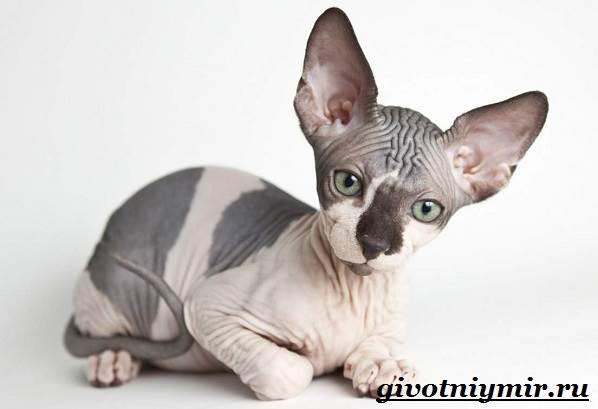 Канадский-сфинкс-кошка-Описание-уход-и-цена-канадского-сфинкса-4
