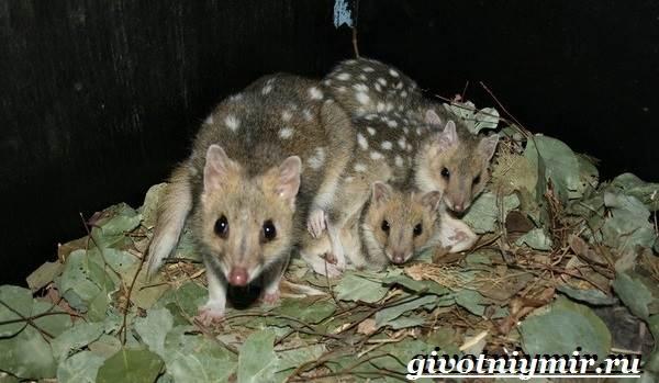 Кволл-животное-Образ-жизни-и-среда-обитания-кволла-3