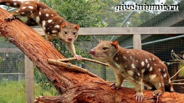 Кволл-животное-Образ-жизни-и-среда-обитания-кволла-5