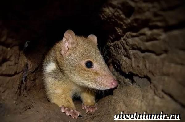 Кволл-животное-Образ-жизни-и-среда-обитания-кволла-7