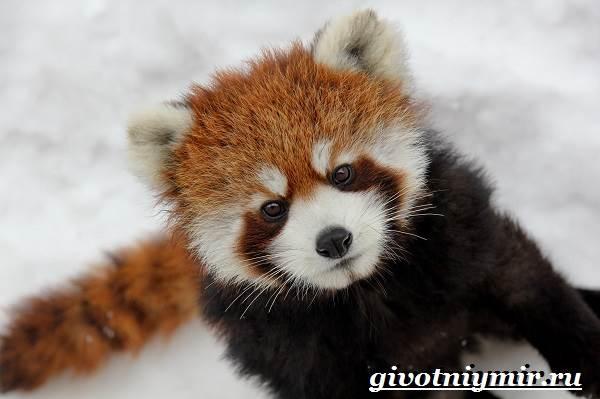 Малая-панда-Образ-жизни-и-среда-обитания-малой-панды-1