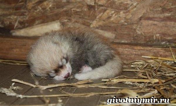 Малая-панда-Образ-жизни-и-среда-обитания-малой-панды-11