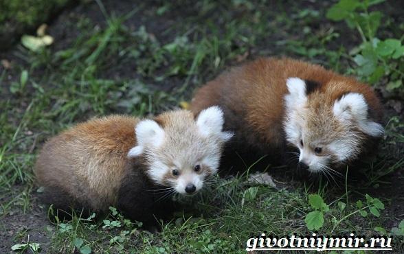 Малая-панда-Образ-жизни-и-среда-обитания-малой-панды-12